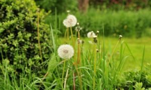 Hooikoorts - pollen