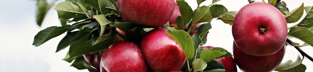 snoeien van fruitbomen